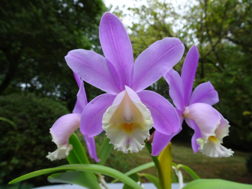 orchidées - floraisons du moment 2018 - Page 4 Cattle10