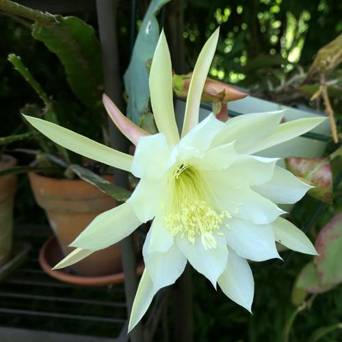 Epiphyllum 'Elfenbein' Epiphy14