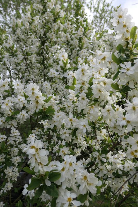 Brassées fleuries - Page 2 Exocho11