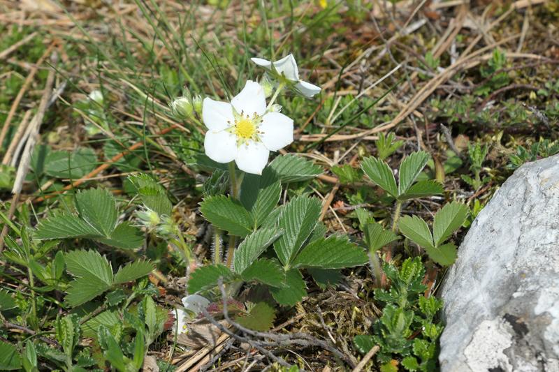 Fragaria viridis Fragar12