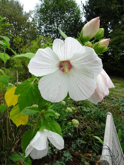 pas de vacances pour nos jardins - Page 2 Hibisc10
