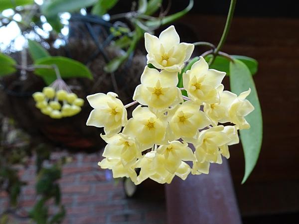 Hoya blashernaezii Hoya_b11