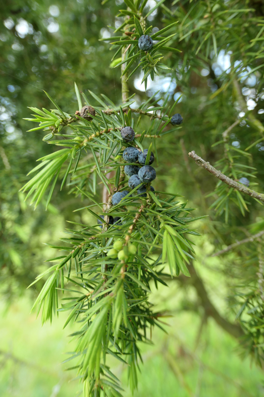Juniperus communis - genévrier commun Junipe11