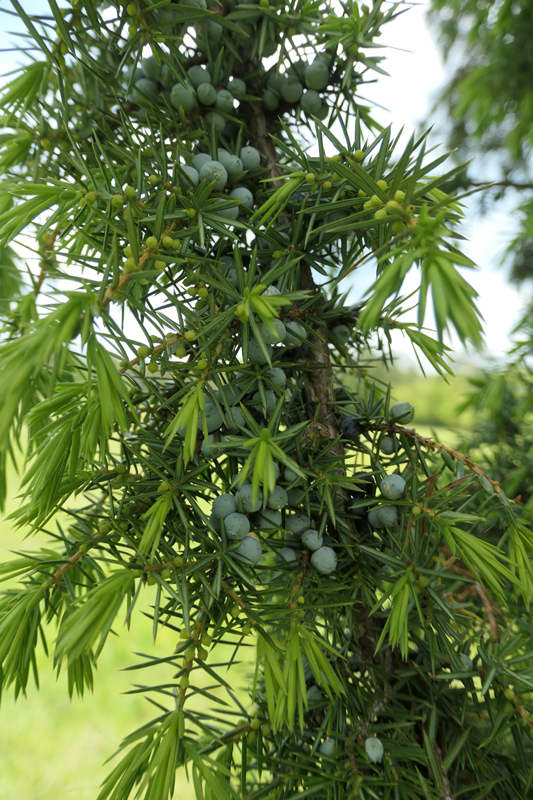 Juniperus communis - genévrier commun Junipe13