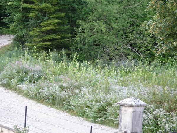 Mentha longifolia - menthe à feuille longue  Menthe10