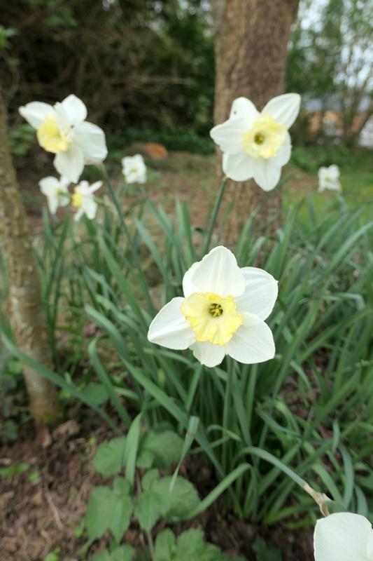 Brassées fleuries - Page 2 Narcis10