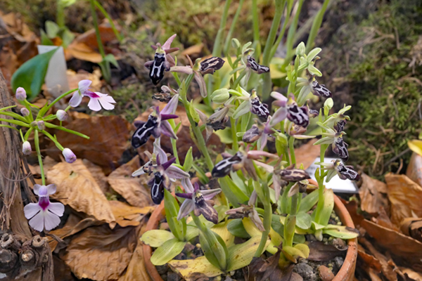 Ophrys cretica Ophrys11
