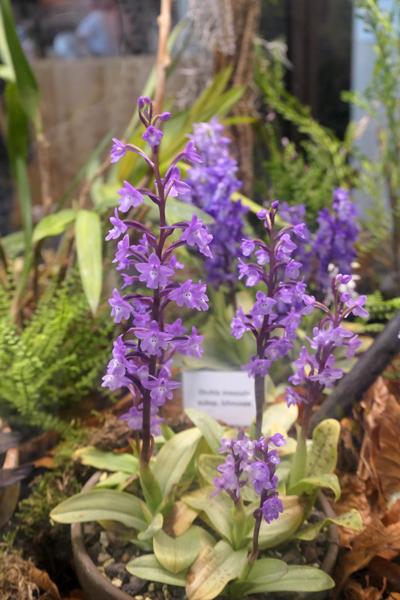 Orchis quadripunctata Orchis10