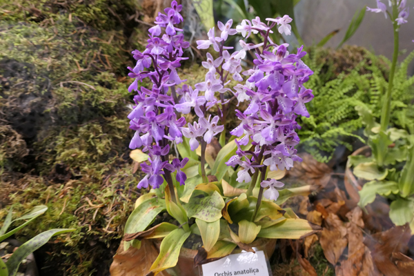 Orchis anatolica Orchis13