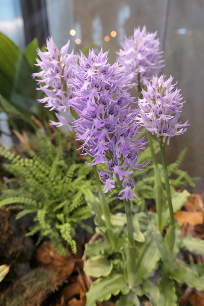 Orchis italica Orchis14