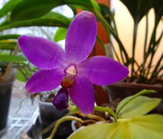 Phalaenopsis - hybrides primaires - Page 5 Phalae11