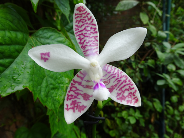 Phalaenopsis - hybrides primaires - Page 5 Phalae12