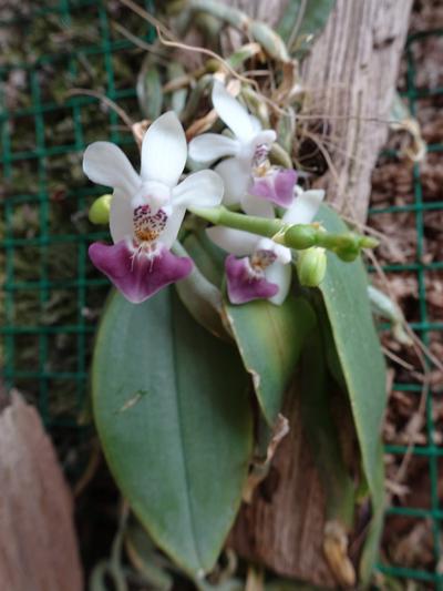 orchidées - floraisons du moment 2018 - Page 3 Phalae13