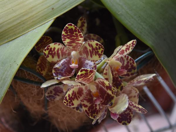 Phalaenopsis gigantea Phalae15