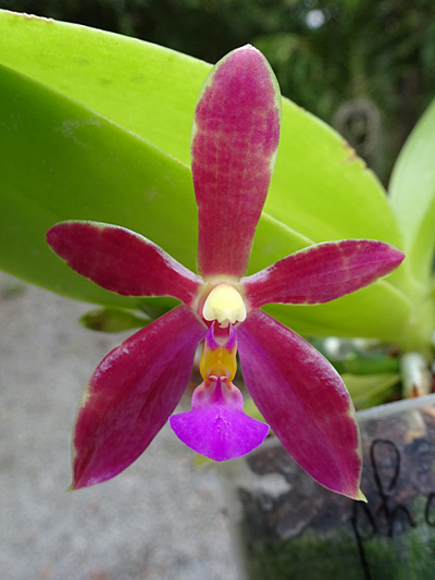 Phalaenopsis - hybrides primaires - Page 5 Phalae16