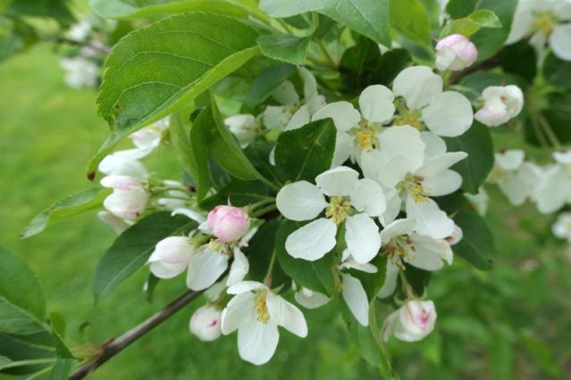 Brassées fleuries - Page 2 Pommie10