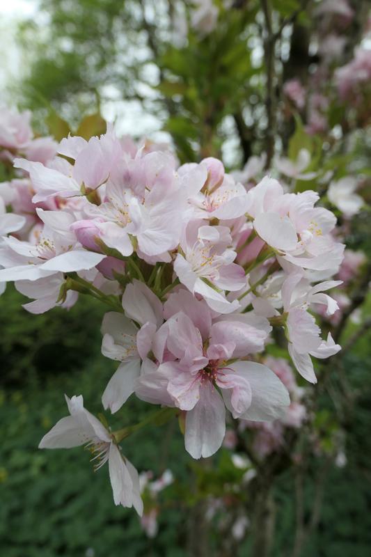 Brassées fleuries - Page 2 Prunus11