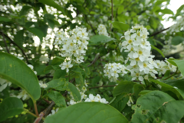 Brassées fleuries - Page 2 Prunus12