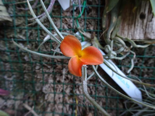 Tillandsia albertiana x crocata  Tillan10