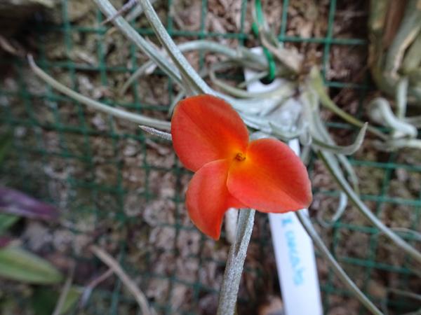 Tillandsia albertiana x crocata  Tillan11
