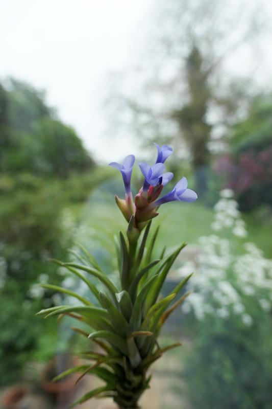 Tillandsia neglecta Tillan33