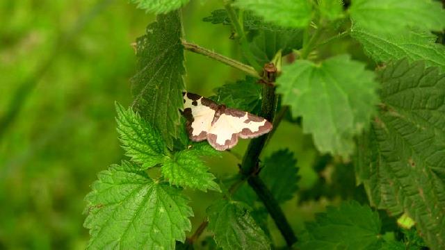 Pour identification Papillon Nocturne ? Ind_pa10