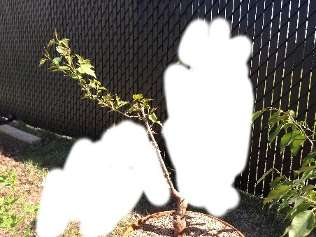 Amur maple questions : pruning, bare rooting Image19