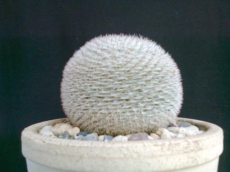 Mammillaria to Id Mammsi11