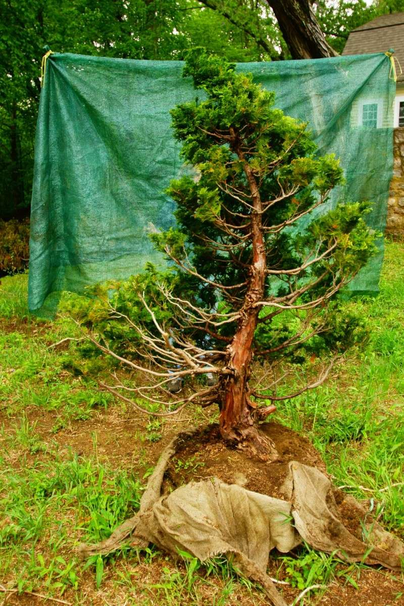 Hinoki Cypress 10 Inch Trunk 48 Inches Tall To Big For Bonsai Wiring