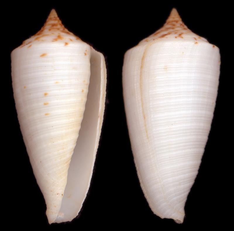 Conus (Phasmoconus) lovellireevei   Raybaudi,  1993 voir Conus (Phasmoconus) asiaticus lovellreevei C_272_10