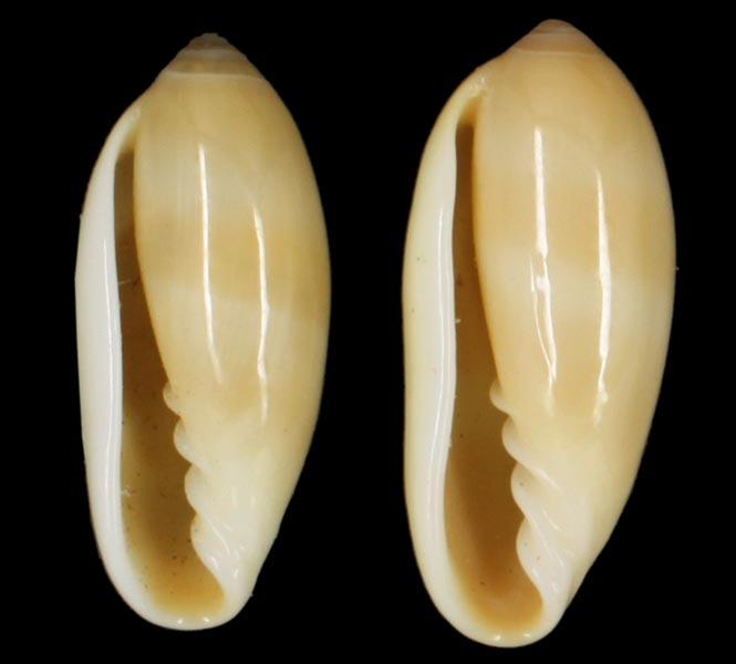 Volvarina philippinarum - (Redfield, 1848) Philip10