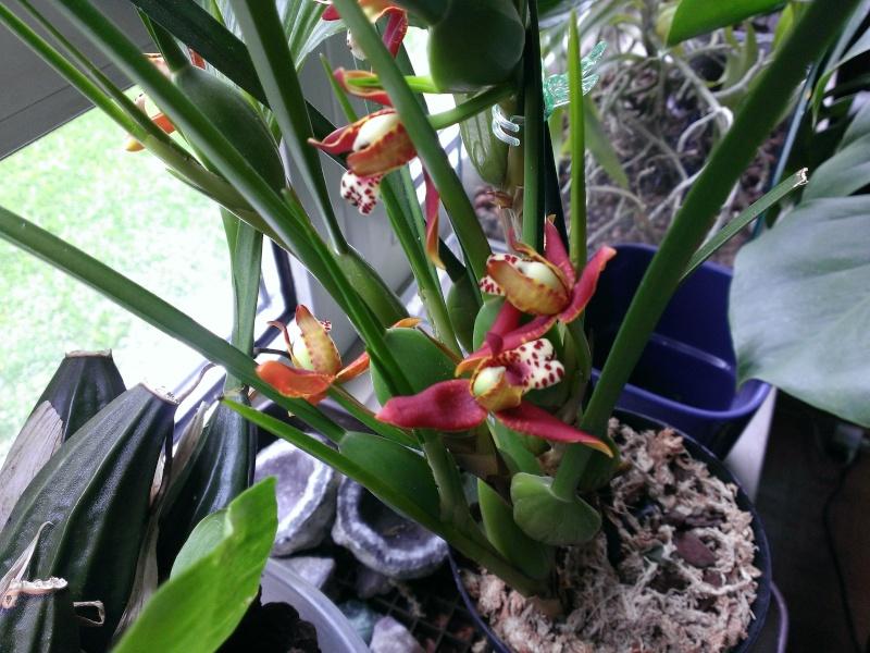 Maxillaria tenuifolia - Seite 2 Wp_20111