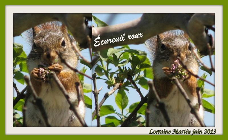Écureuil roux  _picas12
