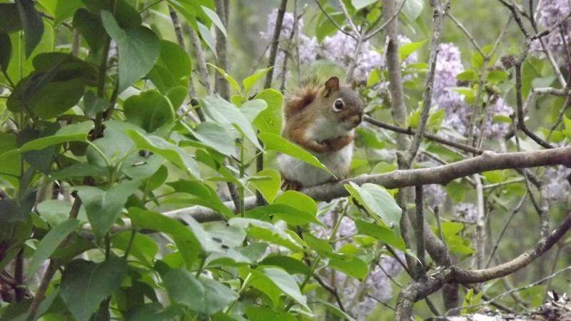 Écureuil dans le Lilas  Acureu10