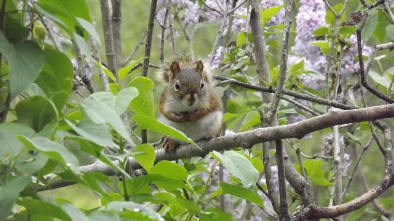 Écureuil dans le Lilas  Acureu11
