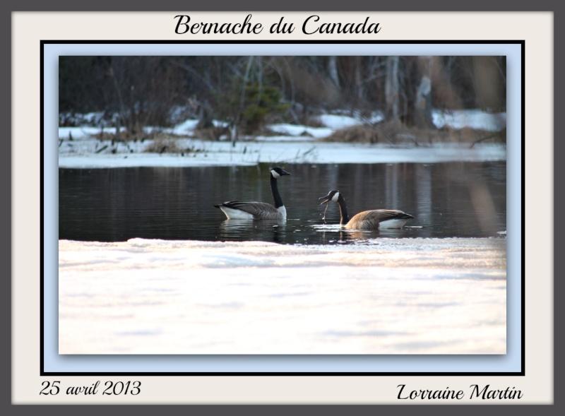 Bernache du Canada photos d'avril Photo_26