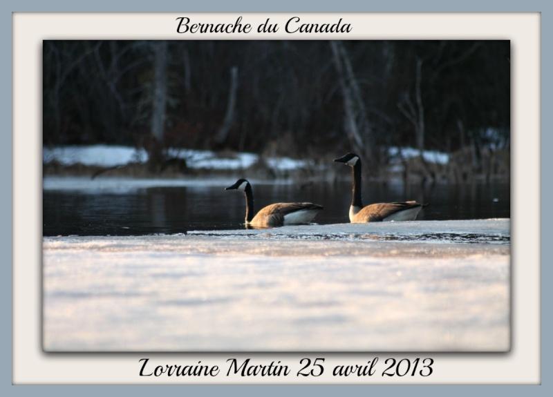 Bernache du Canada photos d'avril Photo_28