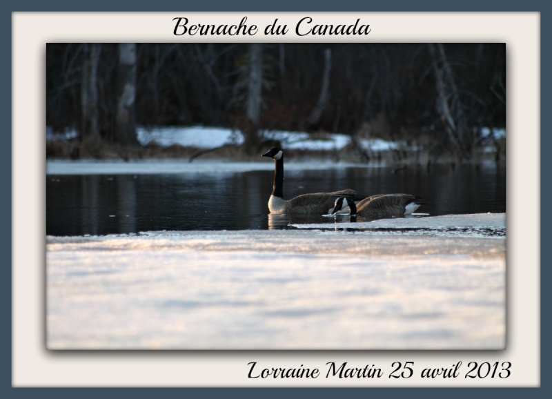Bernache du Canada photos d'avril Photo_31