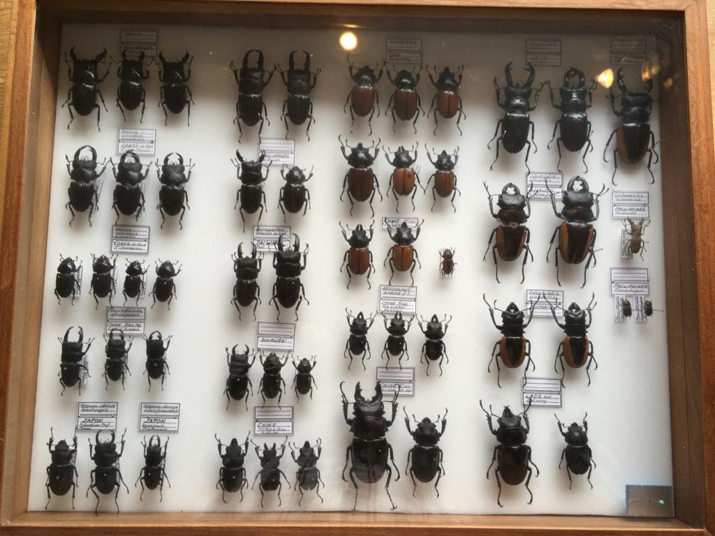 Vente importante Collection d'insectes tropicaux - Coleoptères et Lépidoptères Fullsi10