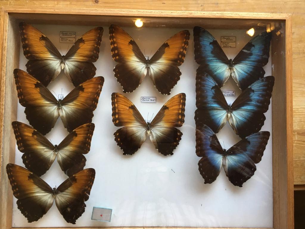 Vente importante Collection d'insectes tropicaux - Coleoptères et Lépidoptères Fullsi12