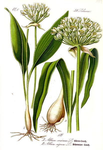 ail sauvage / ail des ours Allium10