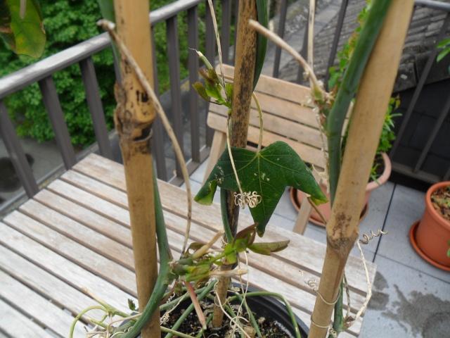 Quelques plantes d'intérieur... - Page 5 Sam_1239