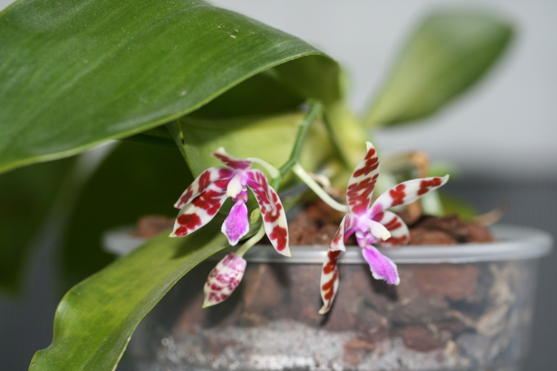 Phalaenopsis mariae, niemals? Img_1513