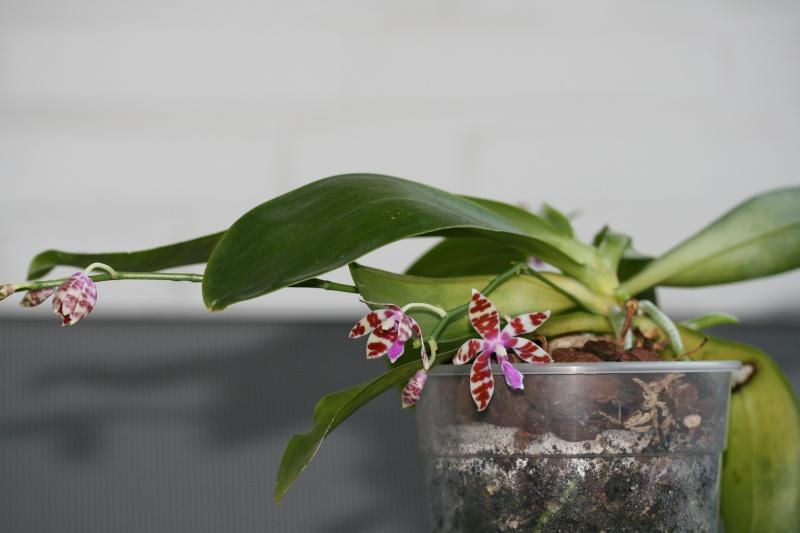 Phalaenopsis mariae, niemals? Img_1515