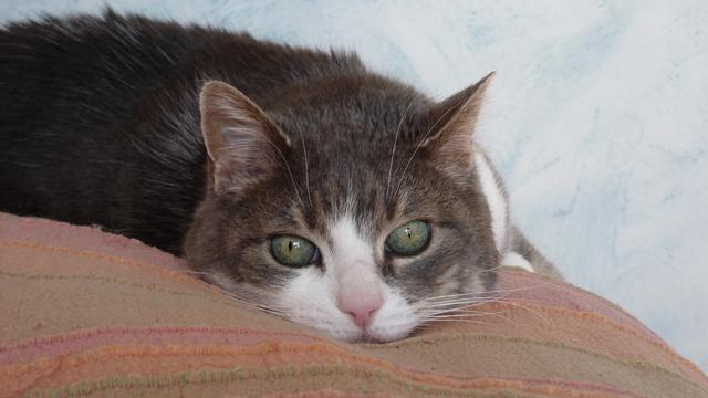 Câline, femelle tigrée grise et blanche, 15 ans Souris10