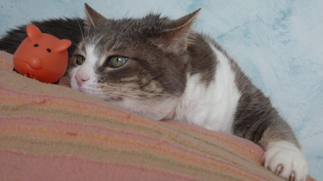 Câline, femelle tigrée grise et blanche, 15 ans Souris12
