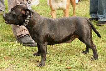 В Литве собираются конфисковывать незарегистрированных собак опасных пород 247dbc10