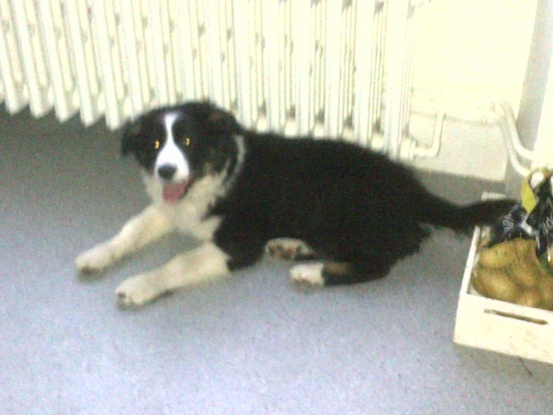 chiots border collie Limoge23