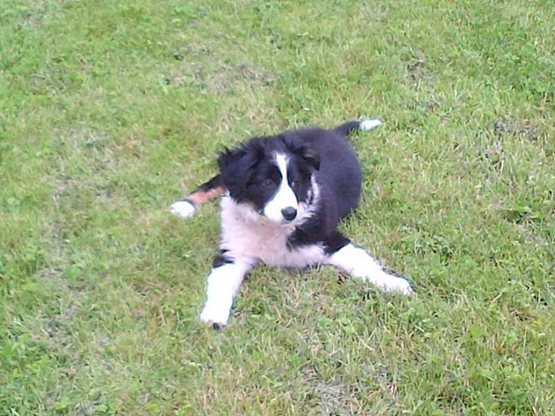 chiots border collie Limoge24