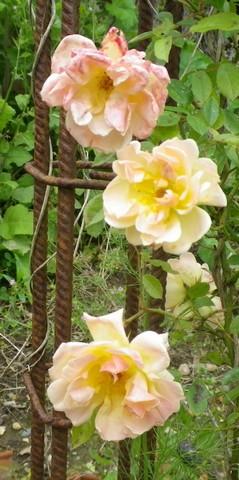 Rosa 'Phyllis Bide' !!! - Page 2 01062014